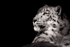 Snow Leopard XI B&W Royalty Free Stock Photography