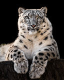 Snow Leopard XXX. Frontal Portrait of Snow Leopard Against Black Background Royalty Free Stock Images