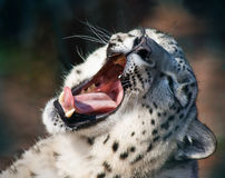 Snow leopard yawn Royalty Free Stock Photography