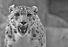 Snow leopard. A young male snow leopard Stock Photos