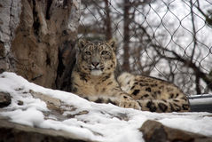 Snow leopard at the Zoo. Beautiful snow leopard resting in the shade Royalty Free Stock Photo