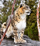 Snow Leopard in the Zoo Stock Images