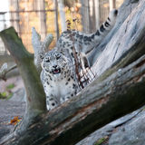 Snow leopard in the zoo Royalty Free Stock Photo