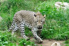 Snow leopard in zoo in summer. White snow leopard in zoo in summer Stock Photos
