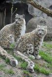 Snow Leopards Stock Photo