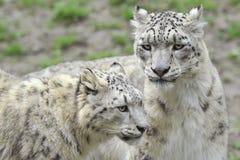 Snow Leopards Stock Image