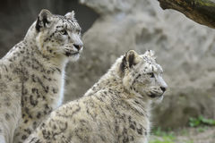Snow Leopards Royalty Free Stock Photography