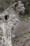 Snow Leopards Stock Images