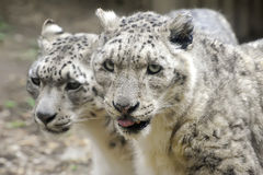 Snow Leopards royalty free stock image
