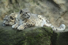 Snow leopards Royalty Free Stock Images