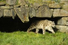 Snow Leopard walking on a lush green grass stock photography