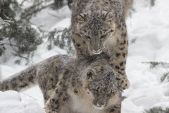 Snow Leopards. A pair of young snow leopards enjoy each other as they romp in the freshly fallen snow Stock Photos