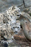 Snow Leopards Stock Image