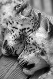 Snow leopards sleeping. Stock Photo