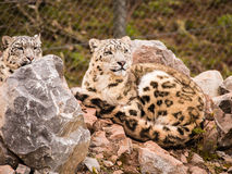 Snow Leopards Royalty Free Stock Photo
