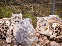 Snow Leopards Stock Photo