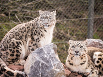 Snow Leopards Royalty Free Stock Photos