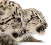 Snow leopards, Uncia uncia or Panthera uncial. 2 months old, in front of white background Royalty Free Stock Photos