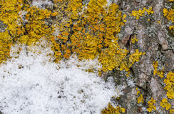 Snow and lichen on tree Stock Photos