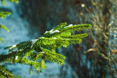 Snow lies on a fir-tree branch in a sunny day Stock Photography