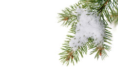 Snow lies on the pine branch Stock Photo