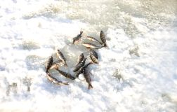 A small fish `perch` lies in the snow,fresh and still alive royalty free stock photo