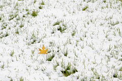 Snow and life tenacious grass Stock Image