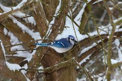 Blue Jay sitting in tree in with snow royalty free stock image