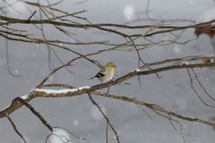 Gold Finch sitting in tree in with snow stock photo