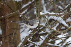 Mockingbird sitting in tree in with snow stock photos