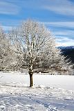 Snow. Lovely tree in the winter Stock Photography