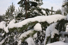 The snow lying on branches Royalty Free Stock Photography