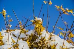 Snow and Maple Stock Photos