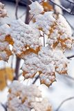 Snow on maple leaves Stock Photography