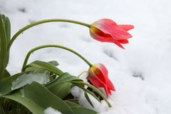 Red tulips in snow Royalty Free Stock Photo
