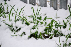 Snow at May Royalty Free Stock Photography