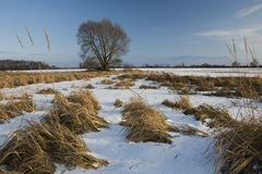 Snow on the meadow with dry grasses. Large tree on the horizon and blue sky royalty free stock images