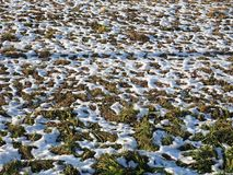 Snow in meadow. Snow melting in a meadow in winter stock image