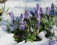 Snow melt crocus Stock Photography