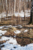 Snow melting in birch forest Stock Images