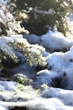 Snow melting on gorse. Photograph of melting snow on a gorse bush Stock Image