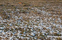 Snow in meadow. Snow melting in a meadow in winter with red cat royalty free stock image