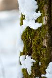 Snow melting on tree bark and moss Royalty Free Stock Photo