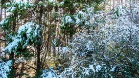 Snow Melting on Trees time lapse. Time lapse of snow melting on the branches of pine trees stock footage