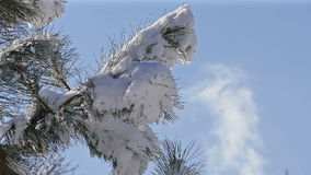 Snow Melts Tree Branch Snowfall Blue Sky Clouds Time Lapse. Drops of water falling from a tree branch during melting snow on a background of blue sky with clouds stock video footage