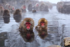 Snow monkey Royalty Free Stock Images