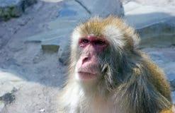 Snow Monkey. A snow monkey looks off into the distance Stock Photo