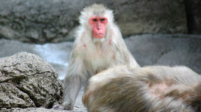 Snow Monkey. Color photo of Snow Monkey (Japanese Macaque) staring intently at the camera royalty free stock images