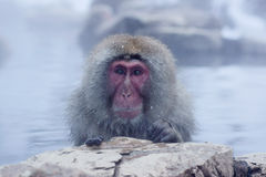 Snow Monkey Royalty Free Stock Photos