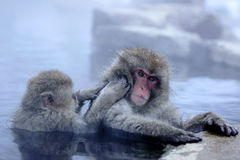 Snow Monkey Stock Photography